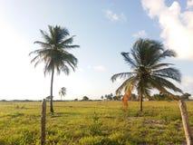 Palmeira e campo Imagens de Stock Royalty Free