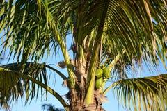 Palmeira e cocos Fotografia de Stock Royalty Free