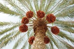 Palmeira e tâmaras Fotografia de Stock