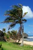 Palmeira em Bathsheba, Barbados fotografia de stock