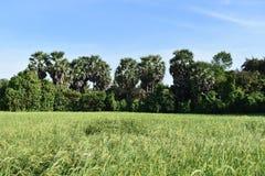 Palmeira em Camboja Imagem de Stock