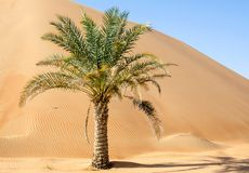 Palmeira em dunas de Liwa do deserto imagem de stock royalty free