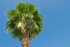 Palmeira em um dia ensolarado Imagem de Stock