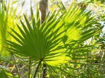 Palmeira fresca Fotografia de Stock