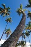 Palmeira - ilha tropical de St Lucia Imagem de Stock