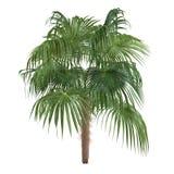 Palmeira isolada. Antillarum de Zombia imagens de stock royalty free