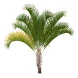 Palmeira isolada. Decaryi de Dypsis ilustração do vetor