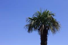 Palmeira isolada e um fundo do céu azul - vista mínima Imagens de Stock