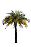 Palmeira isolada no backgrou branco Imagens de Stock Royalty Free