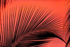 Palmeira mostrada em silhueta bonita com um backg vermelho dramático do por do sol fotos de stock royalty free