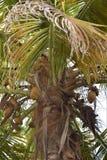 Palmeira muito alta e velha em Colômbia Imagem de Stock Royalty Free