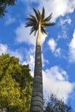 Palmeira no céu Imagens de Stock Royalty Free