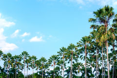 Palmeira no céu Foto de Stock
