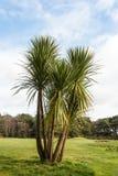 Palmeira no campo de golfe Imagem de Stock Royalty Free