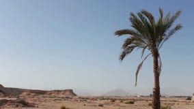 Palmeira no deserto filme
