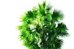 Palmeira ou palma isolada do Toddy no fundo branco imagem de stock