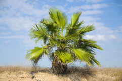 Palmeira pequena Foto de Stock Royalty Free