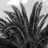 Palmeira preto e branco Fotografia de Stock Royalty Free