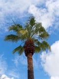 Palmeira que cresce em Tavira fotos de stock