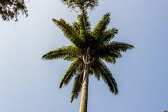 Palmeira real fotos de stock royalty free