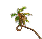 Palmeira surpreendente do coco Imagens de Stock