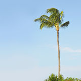 Palmeira tropical de encontro a um azul Imagens de Stock Royalty Free
