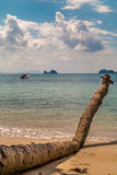 Palmeira velha na praia Fotos de Stock