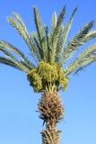 Palmeira verde contra o céu azul e o fruto verde novo das datas foto de stock royalty free