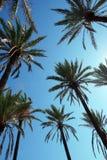 Palmeiras altas da data na perspectiva do céu azul ensolarado imagem de stock