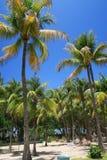 Palmeiras altas do coco em Cuba Imagens de Stock Royalty Free