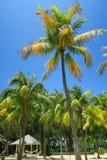 Palmeiras altas do coco em Cuba Fotografia de Stock