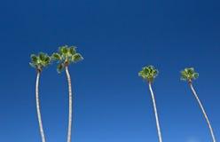 Palmeiras altas no céu azul brilhante Fotos de Stock