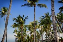 Palmeiras com céu azul Fotos de Stock Royalty Free