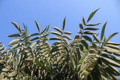 Palmeiras de encontro ao céu azul fundo bonito simples Fotografia de Stock Royalty Free