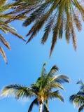 Palmeiras de Florida fotos de stock