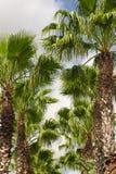 Palmeiras de Florida Imagem de Stock