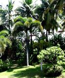 Palmeiras de Havaí Fotografia de Stock