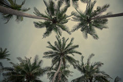Palmeiras do coco Fotografia de Stock