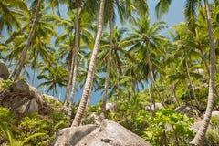 Palmeiras do coco em Tailândia Foto de Stock