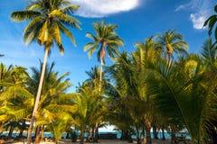 Palmeiras do coco, fundo tropical bonito, em ensolarado azul Imagem de Stock Royalty Free