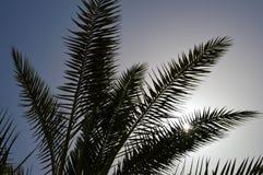 Palmeiras do sul tropicais altas verdes bonitas luxúrias com por muito tempo e ramos luxúrias e folhas no fundo do céu da noite fotografia de stock