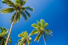 Palmeiras e céu azul Imagens de Stock Royalty Free