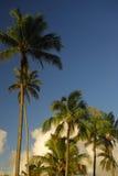 Palmeiras em Havaí imagem de stock