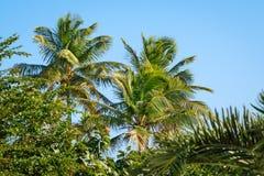 Palmeiras em um jardim tropical Fundo do céu azul Fotografia de Stock