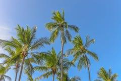 Palmeiras espetaculares e impressionantes do coco em Itacare foto de stock