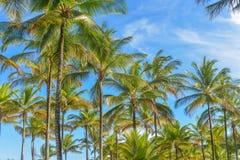 Palmeiras espetaculares e impressionantes do coco em Itacare imagens de stock