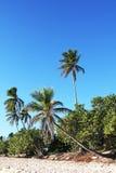 Palmeiras e céu azul na República Dominicana Imagens de Stock
