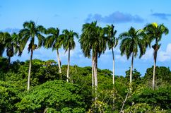 Palmeiras na República Dominicana Imagens de Stock