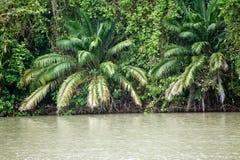 Palmeiras no banco do canal de Panamá Foto de Stock