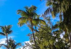 Palmeiras no fundo de um céu azul brilhante bonito e de umas nuvens brancas imagem de stock royalty free